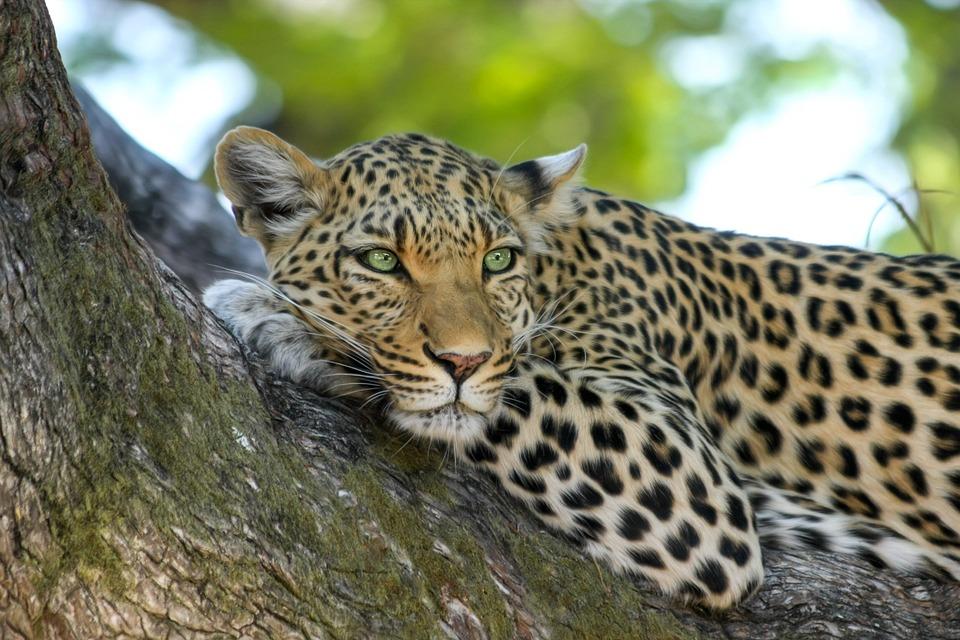 Leopard to represent The Kingdom of Eswatini